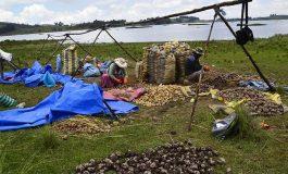 La Aduana decomisó 31 toneladas de papa de contrabando en 3 meses