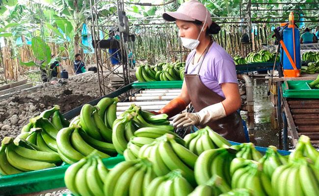 Fonadin apoyará a 7.500 productores de banano y piña en La Paz y Cochabamba